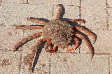 Araignée de mer vivante après la pêche
