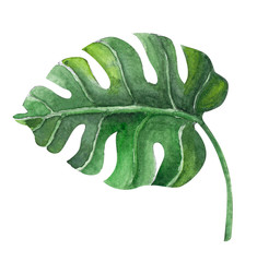 Green monstera tropical leaves watercolor illustration, isolated on white background