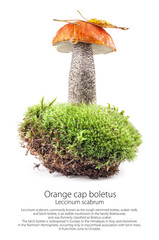 Orange cap boletus (Leccinum scabrum) mushroom on moss isolated on white background