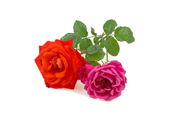 two roses on a white background
