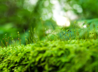 Sporophyte of freshness green moss with water drops growing in the rainforest