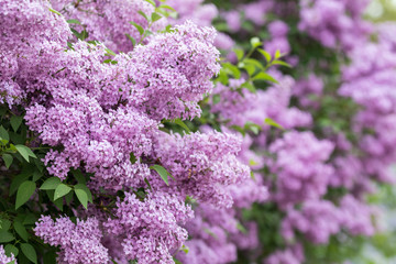 Purple flowers growing on lilac blooming shrub in park.