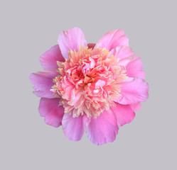 blooming flower pink peony closeup, top view isolated on grey background