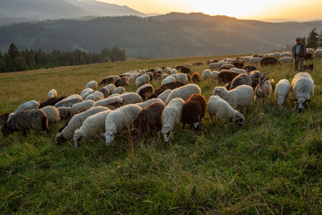Canvas Prints Honey A herd of sheep on a hill in the rays of sunset.