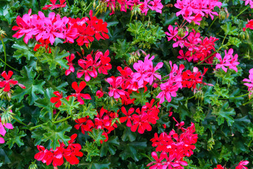 A beautiful multi-colored pelargonium on a flower bed
