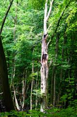 Abgebrochener Baum im Wald Blitzeinschlag Lichtung
