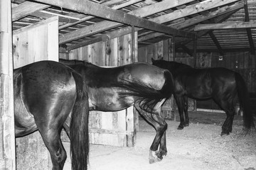 brown horses stand in a wooden paddock, rear view black and white photo