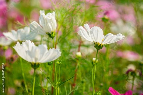 White cosmos flowers in garden stock photo and royalty free images white cosmos flowers in garden mightylinksfo