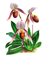 Illustration of orchid