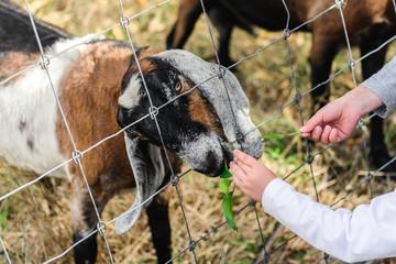 Hand Feed Goat