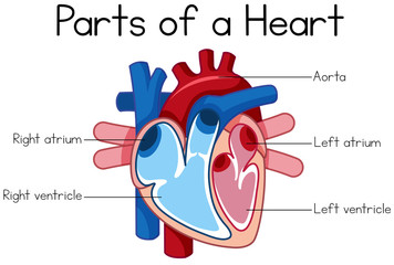 parts of heart diagram