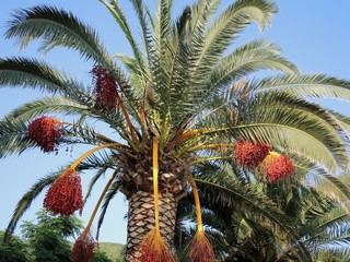 Date palm with fruits