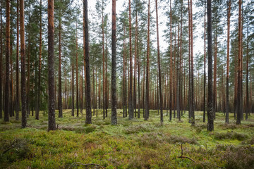 Pine and coniferous forest in Latvia with moss