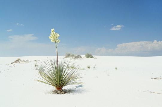 Flowering yucca plant on brilliant white desert sand