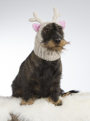 Funny dog picture. Wiener dog is wearing a knitted deer hat with pink ears. Humor studio shot.