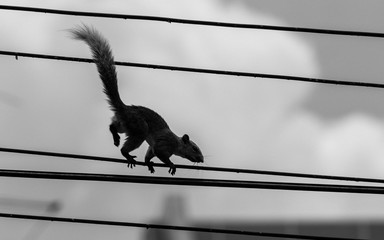 Asian squirrel on the wires.