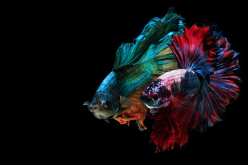 Poster Fish Siamese fighting fish