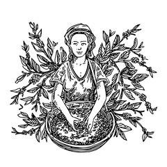 Coffee picker and branch coffee tree. Sketch. Engraving style. Vector illustration.