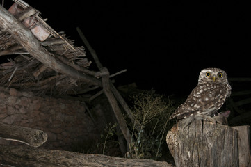Athene noctua owl, perched on stick of an old ruined house, Little Owl