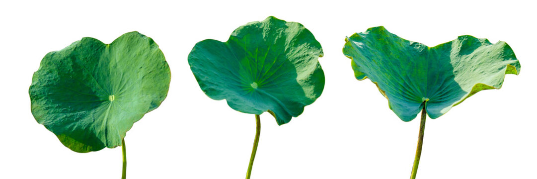 Lotus leaf Isolate 3 collection of white background