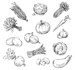 Vector drawing of various vegetables