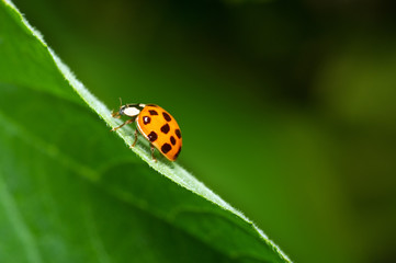 Ladybird close-up climbing up a green leaf. Green blurred background. Beautiful conceptual background. Beautiful artistic image.