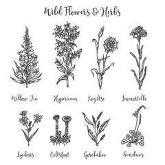 Herbs and Wild Flowers. Vector drawing set. Isolated meadow plants and leaves. Vintage flower. Floral illustration in engraved style Botanical sketch