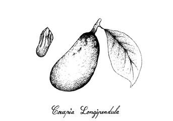 Hand Drawn of Couepia Longipendula Fruit on Tree Bunch
