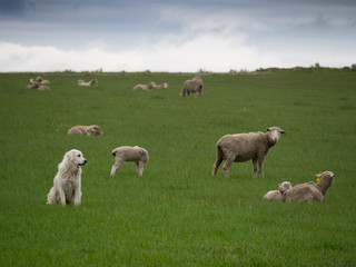 A Sheepherding Dog Watching His Flock in a lush green pasture with clouds overhead.