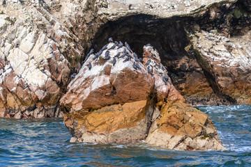 Seeschwalben - Inkaschwalben auf einen Felsen sitzend auf den Ballestas Inseln bei Paracas in Peru