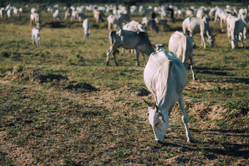 Big herd of white cow eatting grass