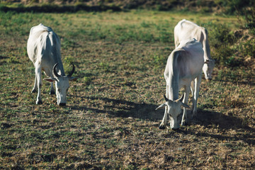 two white cow eatting grass