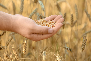 Man holding wheat grains in field