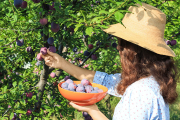 Woman harvesting ripe plums in garden