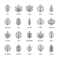 Autumn leaves flat line icons. Leaf types, rowan, birch tree, maple, chestnut, oak, cedar pine, linden,guelder rose. Thin signs of nature plants Editable Strokes
