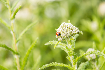 tiny ladybug crawling on top of white Cow Parsnip flower