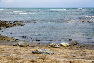 Five green sea turtles resting on the beach of Kaloko-HonoKohau National Park with the Pacific Ocean in the background, Hawaii
