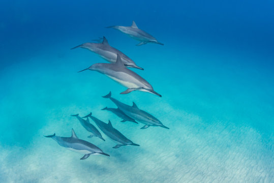 Pod of dolphins swimming in formation