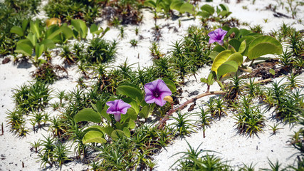 Pink beach moonflowers on a white sand