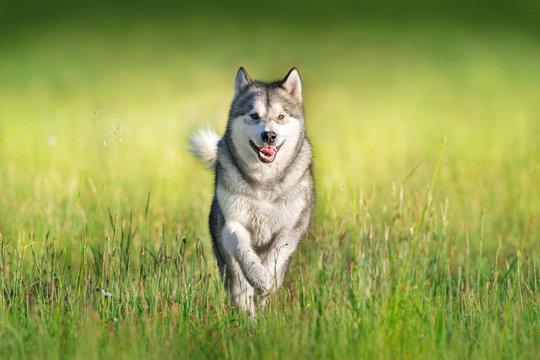 Alaskan malamute running through green summer meadow