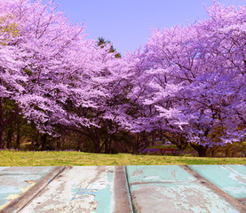 Background of wooden and Cherry blossom tree.
