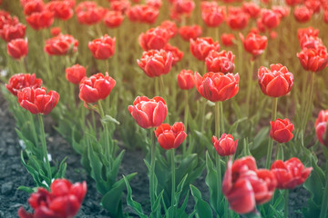 Beautiful tulips in a city flowerbed. Bright red tulips. Many flowering plants texture.