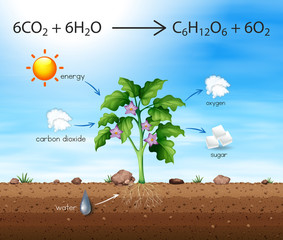 A Process of Tree Produce Oxygen