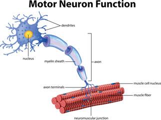 A Vector of Motor Neuron Function