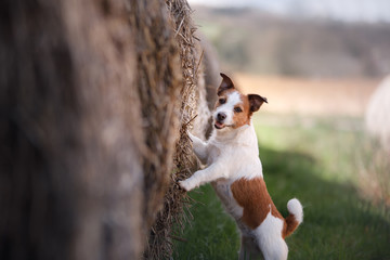 a small dog is standing by a haystack. Pet on the nature. Jack Russell Terrier