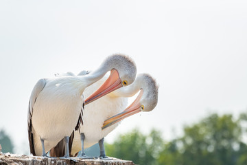 pair of pelicans