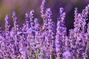 Tuinposter Lavendel Impollinazione delle api, miele di lavanda, Provenza, Francia
