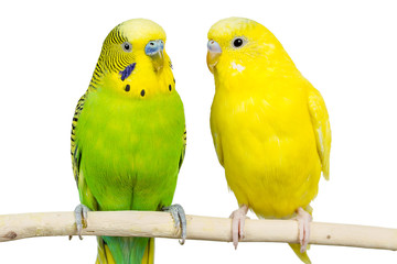 wavy parrots sit together on a white background Isolated Fotomurales
