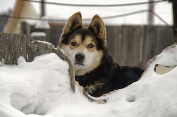 Dog in the snow. Siberian rock