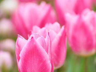 チューリップの花びら
